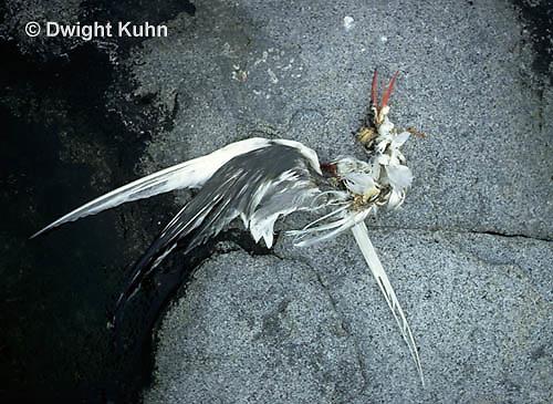 MC84-001z  Arctic Tern - dead tern - Machias Seal Island, Bay of Fundy - Sterna paradisaea