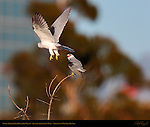 White-Tailed Kite Hovering Fly-by, Female harassing Male, Sepulveda Wildlife Refuge, Southern California