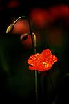 Poppies, Seattle Washington at Charles English Botanical Gardens