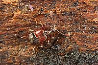 Palpenkäfer, Tyrus mucronatus, Palpenkäfer, Pselaphidae, short winged mold beetles