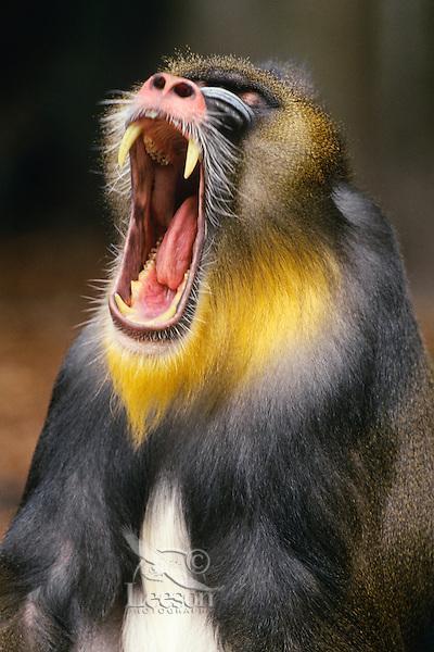 Mandrill (Mandrillus sphinx) male yawning.