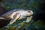 loggerhead sea turtle swiming right, 3/4 shot