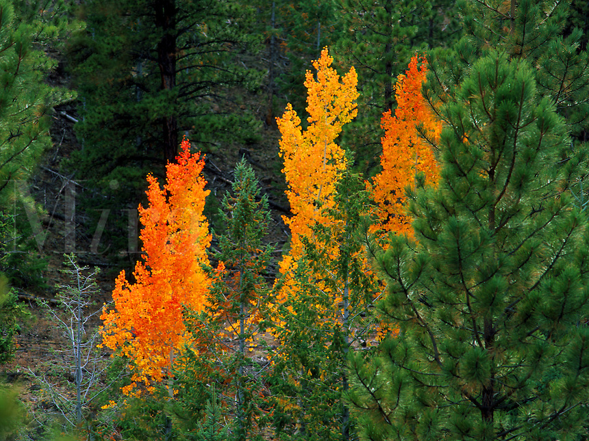 Art in Nature 9609-0157 - Three autumn Aspens contrast amongst evergreen trees in a forest in southern Utah. Utah.