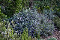 Teucrium fruticans 'Azureum', Silver Bush Germander in Leaning Pine Arboretum, California garden