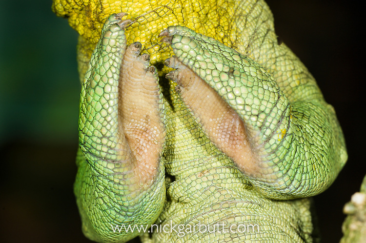 Grasping front feet of Male Parson's Chameleon (Calumma parsonii) in rainforest understorey. Masoala National Park, Madagascar.