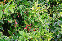 Sarcococca ruscifolia var. chinensis red berries and flowers in winter AGM