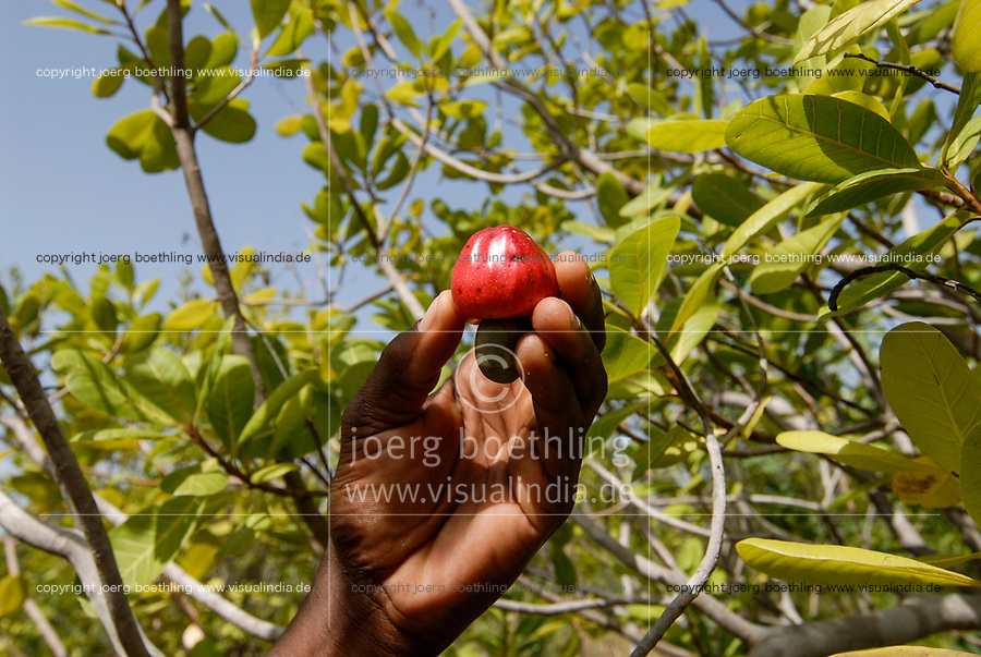 BURKINA FASO, Gao, farm with cashew trees, cashew fruit wit nut at tree / Anbau von Kaschunuessen, Kaschufrucht mit Nuss