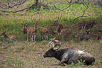 A wild water buffalo and the Sri Lankan axis deer (Axis axis ceylonensis) or Ceylon spotted deer is a subspecies of axis deer (Axis axis) that inhabits only Sri Lanka