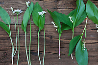 Vergleich Bärlauch (links) und Maiglöckchen (rechts), Blätter, Blatt, Blüten, Blüte. Bärlauch, Bär-Lauch, Allium ursinum, Ramsons, Wood Garlic, Wood-Garlic, buckrams, broad-leaved garlic, L'ail des ours, ail sauvage. Maiglöckchen, Gewöhnliches Maiglöckchen, Mai-Glöckchen, Convallaria majalis, Life-of-the-Valley, Lily of the valley, Muguet, muguet de mai
