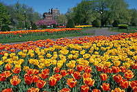 Tulips in the Public Garden. Boston, Massachusetts.