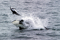killer whale, Orcinus orca, hunting, attacking, lethally hitting a Pacific white-sided dolphin, Lagenorhynchus obliquidens, Monterey, California, USA, Pacific Ocean