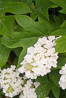 Hydrangea quercifolia Oakleaf Hydrangea in white flowers