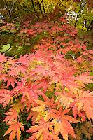 maple, Arnold Arboretum, autumn, Boston, MA