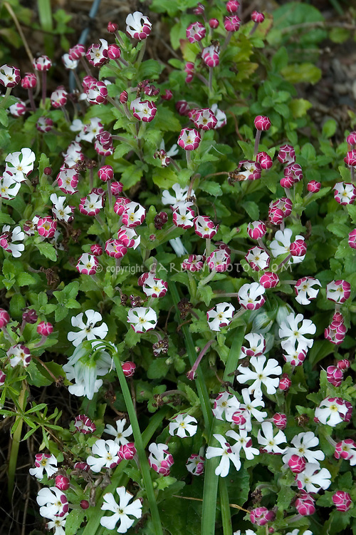 Zaluzianskya capensis growing with many flowers, evening and night scented plant