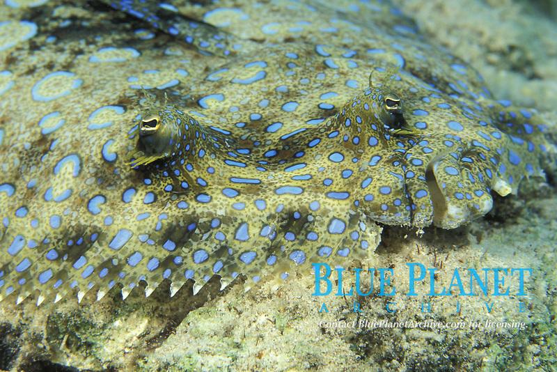 peacock flounder, Bothus lunatus, Bonaire, Caribbean Sea, Atlantic Ocean