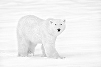 A polar bear on the tundra