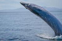 Brydes whale, Balaenoptera edeni, breaching display, Sea of Cortez, La Paz, Baja, Mexico, Pacific Ocean