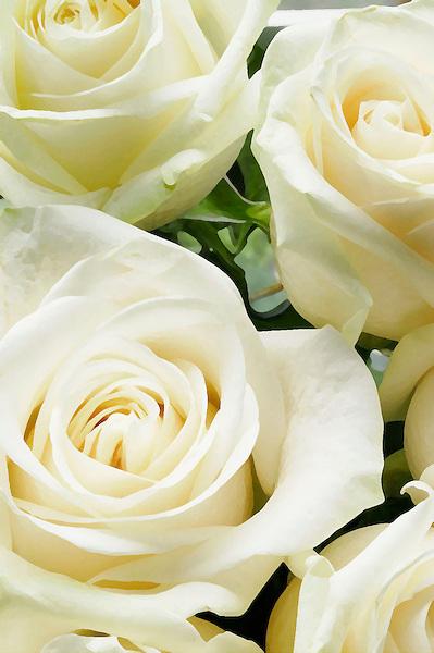 White roses usher in summer