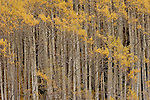 Aspens nearing the peak of their fall color in Colorado.
