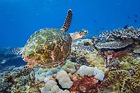 Hawksbill Turtle, Eretmochelys imbricata, Flinders Reef, Moreton Bay Marine Park, Brisbane, Queensland, Australia, Pacific Ocean