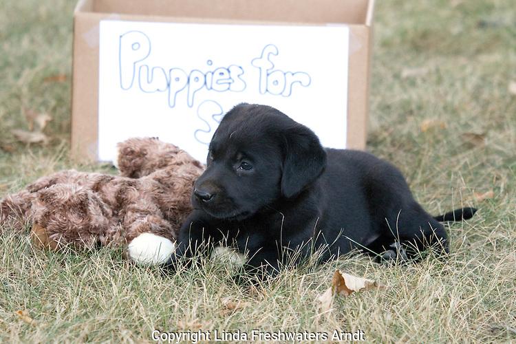 "Black Labrador retriever playing next to a ""Puppies for Sale"" box"