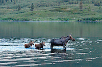 A mother Moose feeding in Wonder Lake as her timid newborn twins follow closely.  Early summer in Denali National Park never gets dark at night.  This photograph was captured around 1 AM.