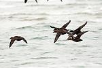 Common eider females flying left, South beach, Chatham, Massachusetts