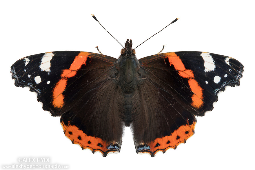 Red Admiral butterfly {Vanessa atalanta}photographed on a white background in mobile field studio. Peak District National Park, Derbyshire, UK. September. Focus stacked image.