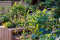 squash zucchini courgette, cabbage, tropaeoleum nasturtiums, corn, flowers and vegetable garden mixed together, raised beds, container, chard aka Cavalo Nero kale