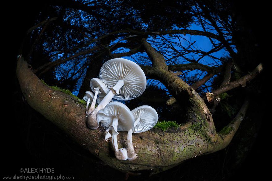 Porcelain fungus {Oudemansiella mucida} growing on dead Beech tree {Fagus sylvatica}. Peak District National Park, Derbyshire, UK. October.