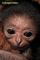 MA43-002z   White-handed Gibbon - young - Hylobates lar