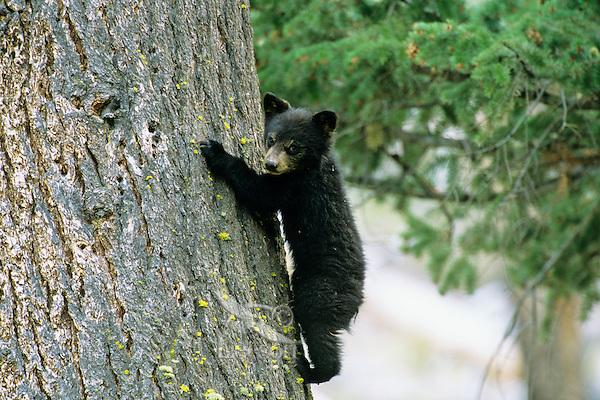 Black Bear cub (Ursus americanus) climbing tree.  Western U.S.