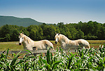 Burt and Ernie, Percheron horses