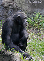 0209-08ss  Chimpanzee, Pan troglodytes © David Kuhn/Dwight Kuhn Photography