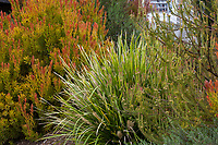 Lomandra hystrix 'Tropic Belle' in Southern California garden