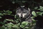 Gray wolf portrait, Coastal Range, British Columbia, Canada