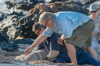 NOAA contract veterinarian Bob Braun takes a nasal swab samples from a Hawaiian monk seal, Neomonachus schauinslandii, prior to attachment of a Crittercam and tracking instrumentation package; west end of Molokai, Hawaii, USA, Ho Ike a Maka Project, photo taken under NOAA permit 10137-6