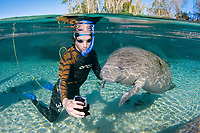 Florida Manatee, Trichechus manatus latirostris, A subspecies of the West Indian Manatee. A snorkeler interacts with a young manatee, taking a photograph together with a small digital camera. Three Sisters Springs. Crystal River, Florida. No MR