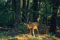 White-tailed Deer fawn in forest.  Great Lakes region.  Summer.