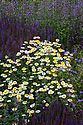 Anthemis tinctoria 'E.C. Buxton', Salvia nemorosa 'Ostfriesland', Nepeta and Geraniums in a mixed herbaceous border, late June.