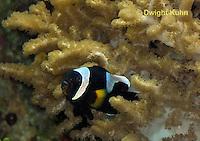 TP06-500z  Saddleback Clownfish, Amphiprion polymnus