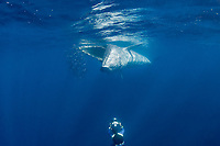 Bryde's whale, Balaenoptera brydei or Balaenoptera edeni, feeding on baitball of sardines, off Baja California, Mexico ( Eastern Pacific Ocean ); photographer Brandon Cole at bottom of frame #3 in sequence of 6