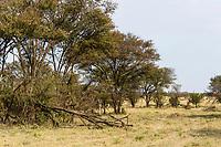 Tanzania. Serengeti. Trees Damaged by Elephants.