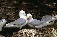 Dreizehenmöwe, Paar, Pärchen auf dem Nest in der Steilwand eines Vogelfelsen, Dreizehen-Möwe, Möwe, Dreizehenmöve, Rissa tridactyla