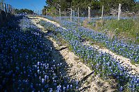 In spring while traveling the backroads in the backcountry of the Texas Hill Country you come by splashes of pure color of bluebonnets wildflowers that paint a normal patch of road saturated blue, a stunning sight to see. Beautiful backcountry scenic landscape - Stock Image.