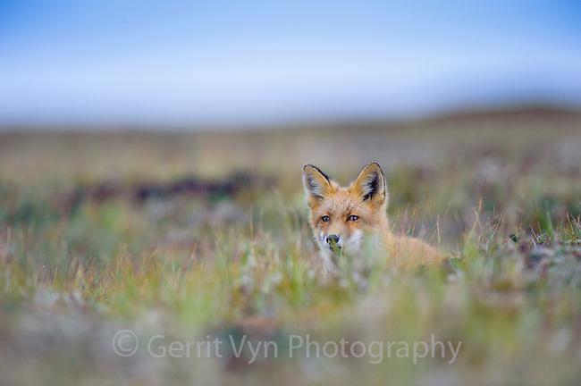 Red Fox (Vulpes vulpes). Yukon Delta National Wildlife Refuge, Alaska. September.