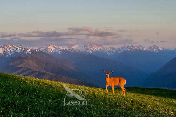 Columbian black-tailed deer (Odocoileus hemionus columbianus) buck in subalpine meadow near summit of Hurricane Hill with Olympic Mountains in background.  Olympic National Park, WA.  Summer. Late evening.