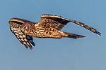 Harrier, George C. Reifel Migratory Bird Sanctuary, British Columbia, Canada