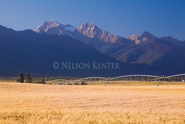 Mission Mountains and wheat field with irrigation pipes across the field