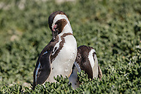 Africa, Southafrica, Boulders, African penguin